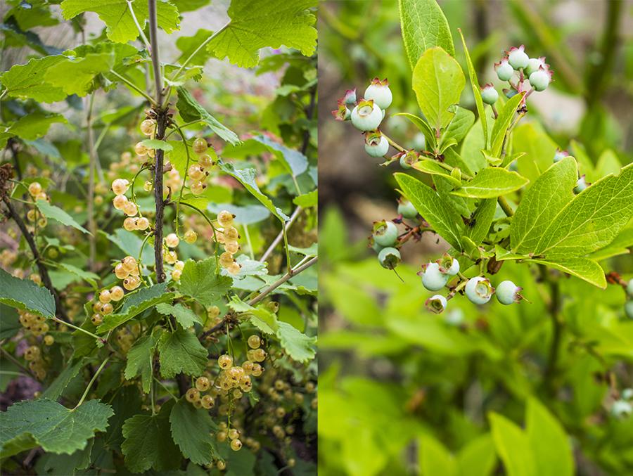 Vita vinbär och Amerikanska blåbär