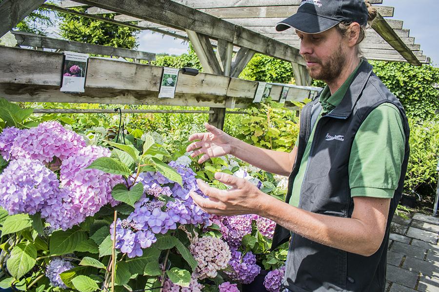 Flyinge Plantshop trädgårdshortensia