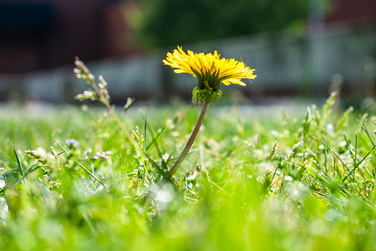 Maskrosor i gräsmattan