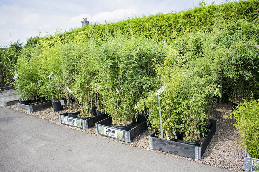 Flyinge Plantshop Bambu