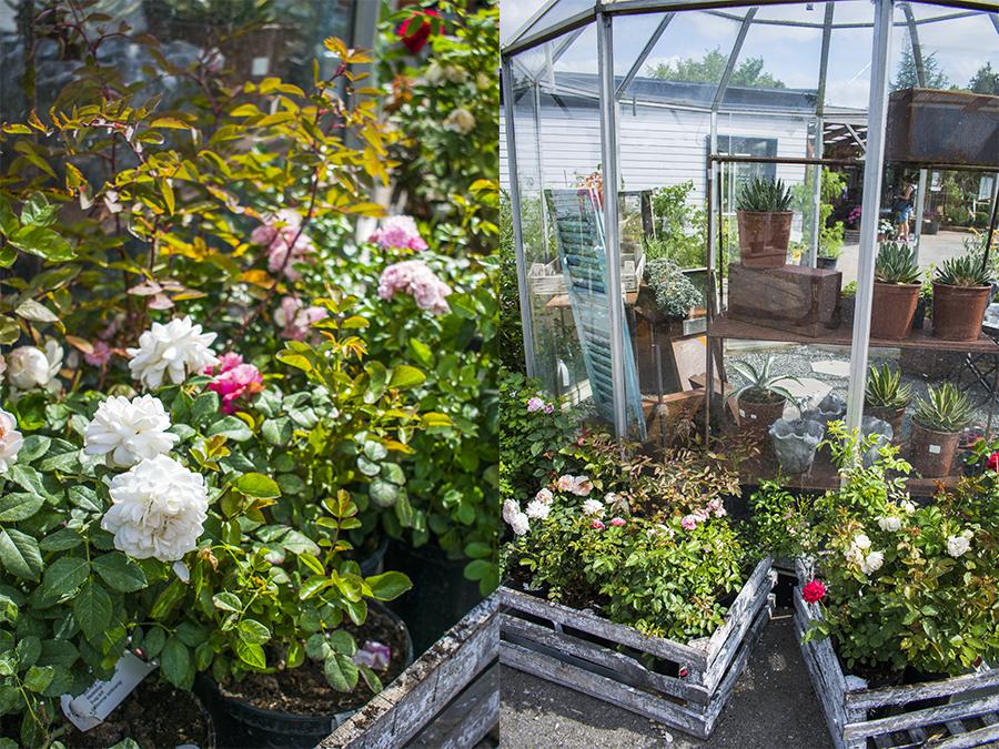 Rosor Flyinge Plantshop